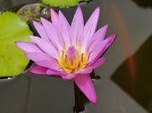stock photo of species  - The Pink Lotus species of beautiful flower  in Thailand - JPG