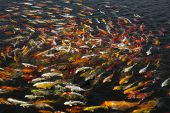 pic of fish pond  - beautiful koi fish swimming in the pond Colorful Koi - JPG