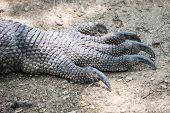 image of komodo dragon  - Foot of a Komodo dragon on the island of Rinca Indonesia - JPG