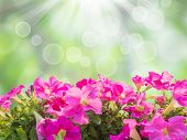 picture of petunia  - Close up pink petunia flower isolated over green spring background - JPG