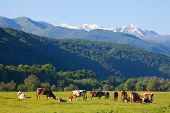 foto of pastures  - herd of cows is grazed on a summer pasture against snow - JPG