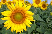 Постер, плакат: Bright Yellow Sunflowers On Blurry Sunflowers Field Background