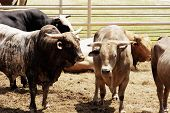 stock photo of bull riding  - Bulls waiting for their turn in the rodeo arena - JPG