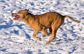 picture of american staffordshire terrier  - Dog breed American Pit Bull Terrier running in snow - JPG
