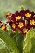 foto of primrose  - Primrose Primrose with burgundy flowers with yellow mid to full bloom closeup - JPG