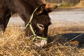 stock photo of donkey  - The donkey on a farmstead eats a grass - JPG