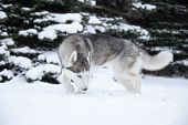 image of husky  - one Young Husky on white snow background - JPG