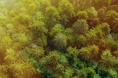 picture of canopy  - Healthy green forest from air in golden sunshine sun rays falling on the canopy - JPG