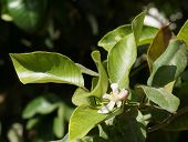 picture of florida-orange  - Orange blossom - JPG
