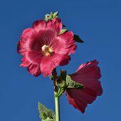 picture of hollyhock  - Pig pink hollyhock flowers - JPG