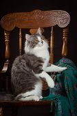 purebred Siberian cat sitting on a chair poster