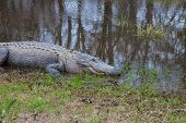 stock photo of alligator  - This is a photograph of Alligators on land - JPG