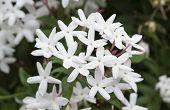 picture of jasmine  - Lovely Star Jasmine flowers blooming in spring - JPG