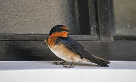 pic of swallow  - swallow perched in the shade next to a window  - JPG
