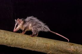 stock photo of opossum  - andean white eared opossum on a branch zarigueya over black background - JPG