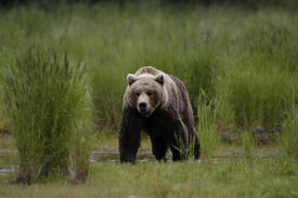 stock photo of grizzly bear  - Brown bear walking out of grass - JPG