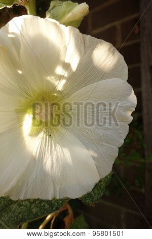 White Hollyhock Flower