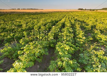 Summer Landscape Of Potatoe Field In Sunset Light