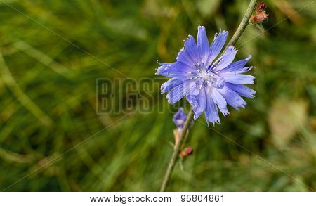 Single Solitary Blue Chicory Flower
