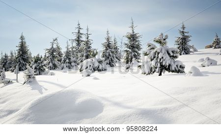 Pine Tree In Winter Snow
