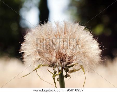 Close Shot Of Dandelion Plant In Field