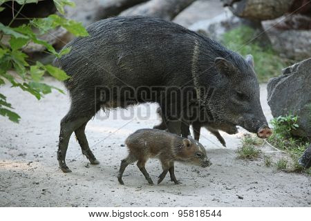 Collared peccary (Pecari tajacu) with its baby. Wild life animal.