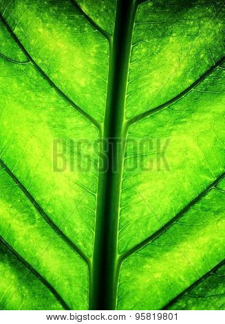 Green leaf background, fresh juicy foliage, abstract natural textured wallpaper, detail of plant, eco system, beauty of environment