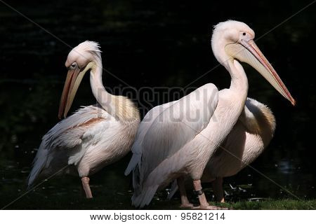 Great white pelican (Pelecanus onocrotalus), also known as the rosy pelican. Wild life animal.