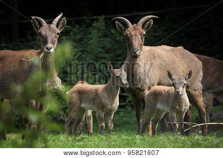 East Caucasian tur (Capra caucasica cylindricornis), also known as the Daghestan tur. Wildlife animal.
