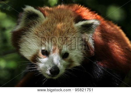 Western red panda (Ailurus fulgens fulgens). Wildlife animal.