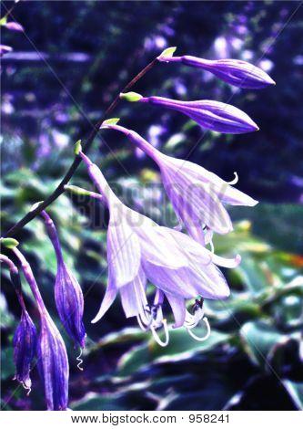 Painted Hosta Flower In Garden
