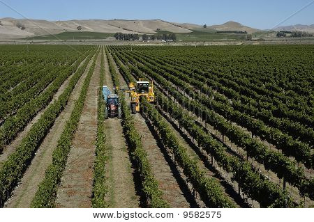 Grape Harvesting in Marlborough, New Zealand