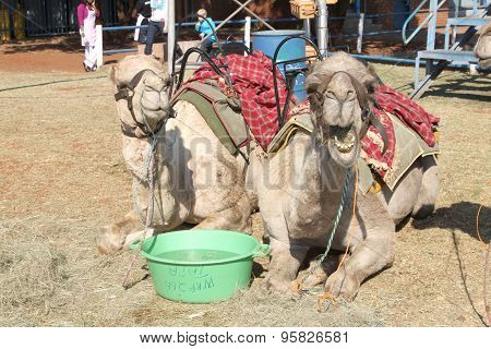 Camels Resting Used For Joyrides At Festival