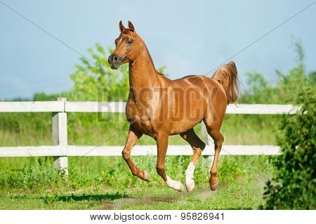 Chestnut Arab Stallion Runs Free In Paddock In Summer