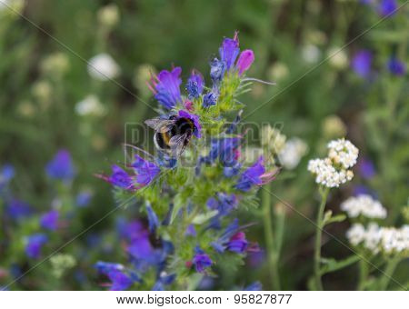 Bee Pollinates Flowers Of The Field