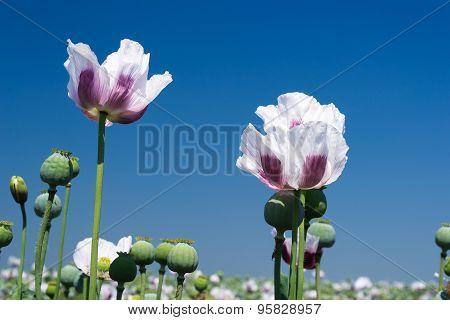 White Opium Poppy Against Blue Sky