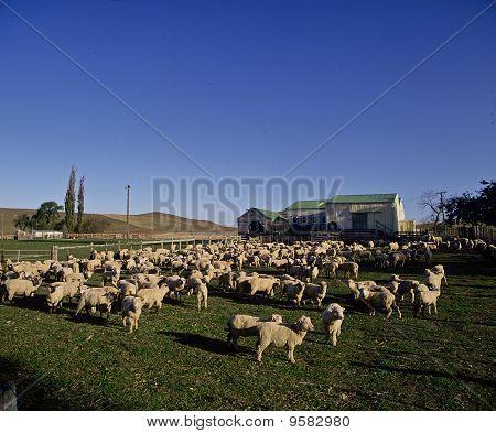 Sheep on a Hawkes Bay farm.