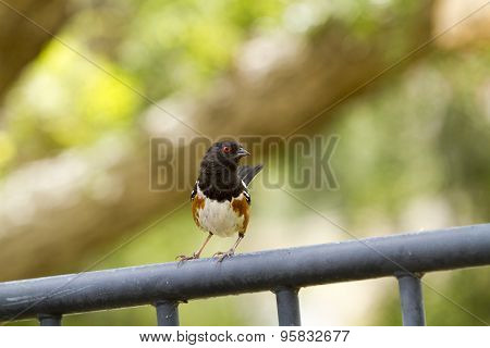 Brown And Black Towhee