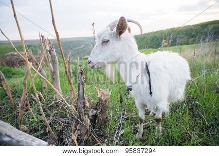 Goat on a green meadow.