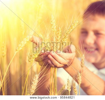 Little Boy taking wheat ears on the field. Kid with rye in his hands