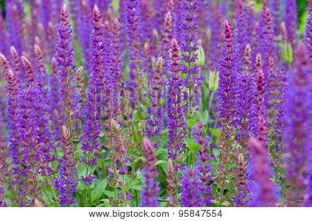 Closeup On Purple And Blue Lupinus (lupin, Lupine) Flowers Field
