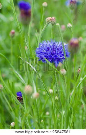 Blue Cornflower (centaurea Cyanus) Growing In A Field, Narrow Depth Of Sharpness