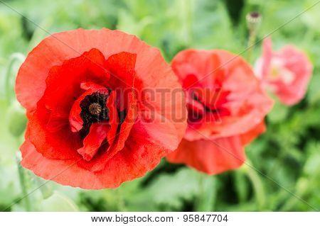 Beautiful Red Poppy Flower (papaver Rhoeas) Closeup