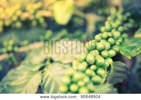 Coffee beans on the branch  ( Filtered image processed vintage effect. )