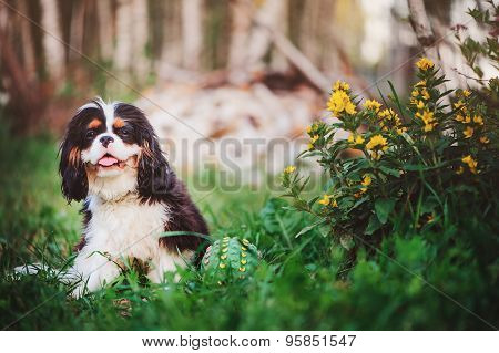 young fluffy cavalier king charles spaniel sitting with toy ball in summer garden