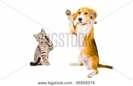 Funny beagle dog and kitten Scottish Straight