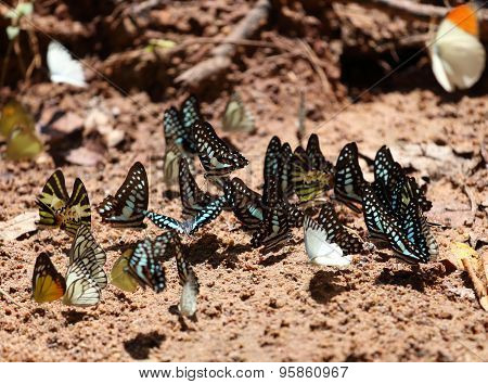 Group Of  Butterfly On The Ground