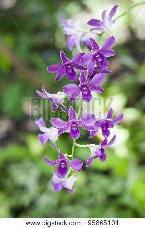 Purple Orchid flower in Thailand