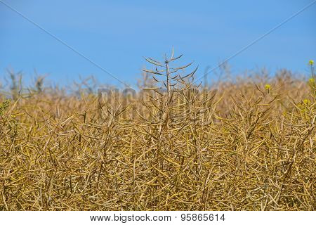 Field Of Ripe Mature Colza Rape Plant Under Blue Sky