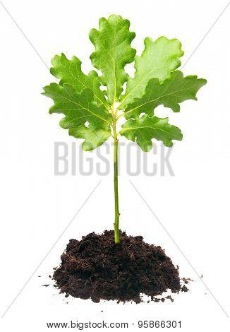 Small oak tree isolated on white background.
